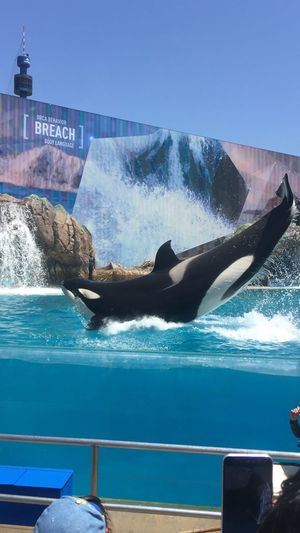 No Filter, No Edit, Just Photography Shamoo 🐳 Without Filters Killer Whale Seaworld San Diego Seaworld Just Pic
