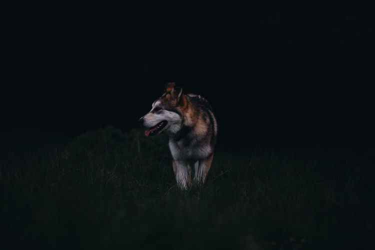 Siberian husky looking away while standing on field during night