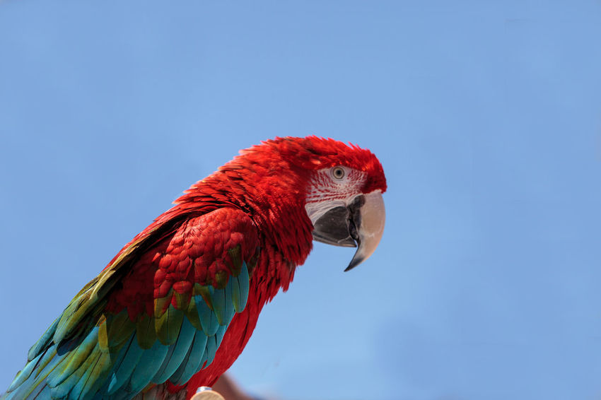 Green wing Macaw parrot bird Ara chloropterus with red, green and blue feathers Ara Chloropterus Avian Beak Bird Blue Colorful Exotic Bird Feather  Feeding  Green Green Wing Macaw Hand Feeding Macaw Parrot Pet Red