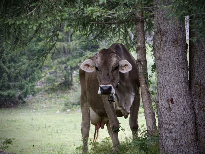 Portrait of a cow in the forest
