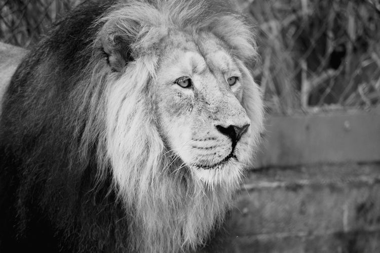 Animal Wildlife One Animal Animal Animal Head  Outdoors Nature Portrait Lion Chesterzoo Black And White Chester Zoo