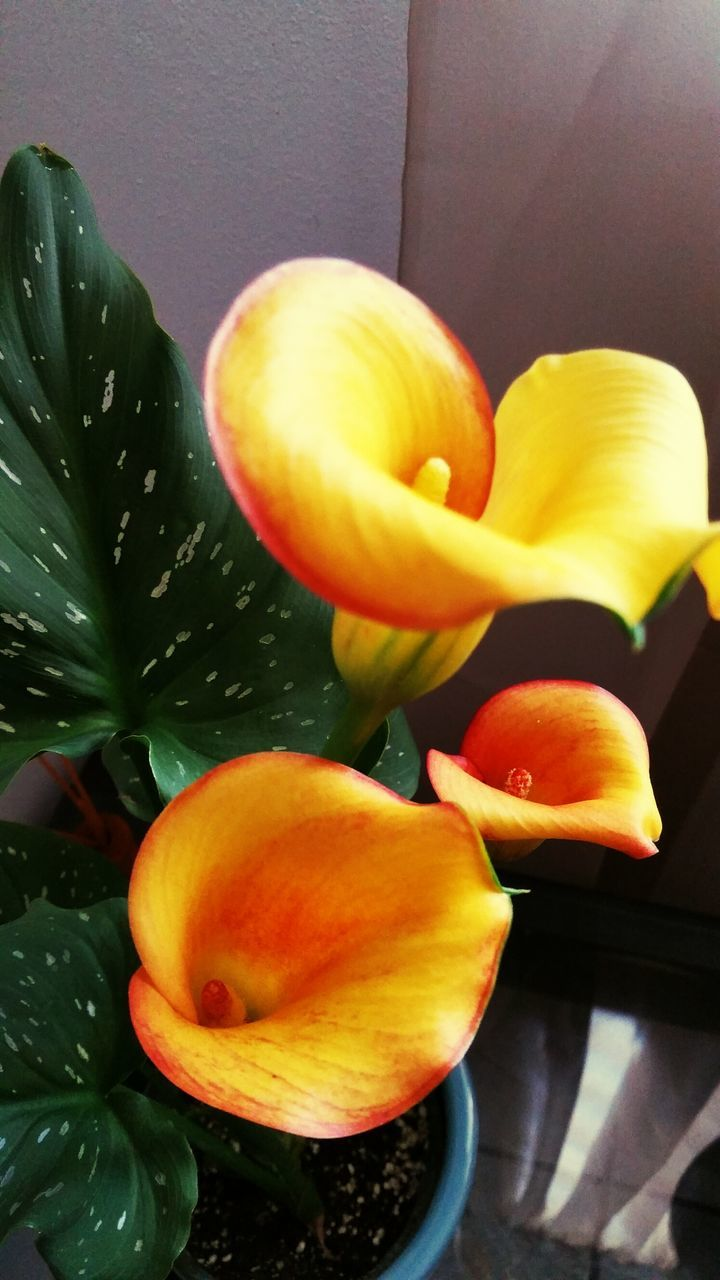 freshness, flower, no people, growth, petal, fruit, beauty in nature, close-up, nature, indoors, fragility, yellow, food, day, flower head