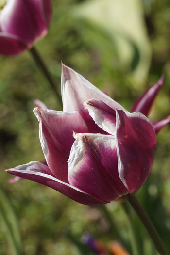 A Day With Friends Beauty In Nature Blooming Botany Flower Flower Head Growth Hard In Bloom Karlsruhe Nature Nature Photography Nature_collection Plant Rough Tulips