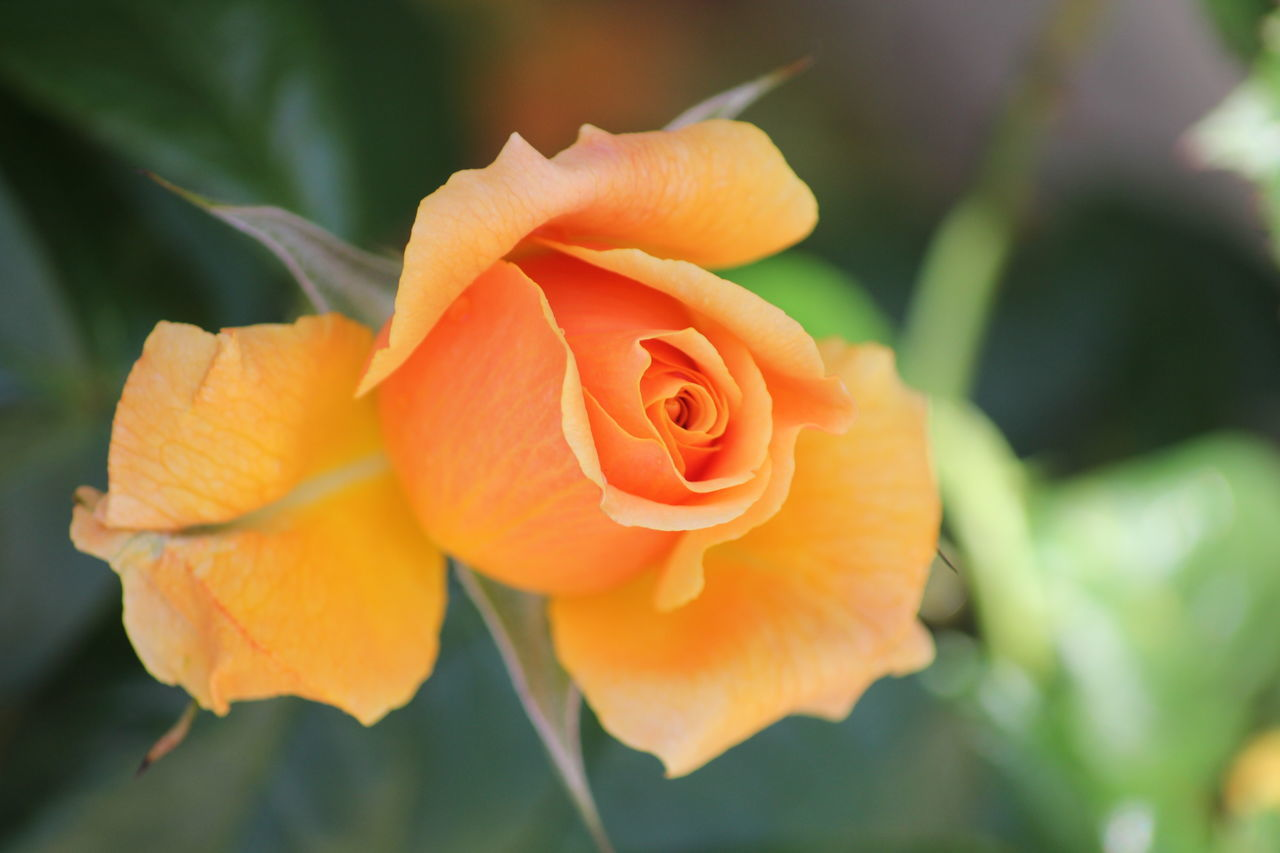 Close-Up Of Orange Rose Blooming Outdoors