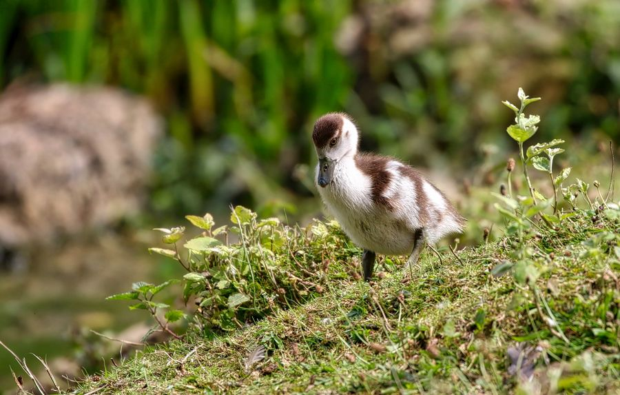 Egyptian Gosling Animal Animal Themes Animal Wildlife Animals In The Wild Bird Day Field Full Length Goose Gosling Land Nature No People One Animal Outdoors Plant Selective Focus Sunlight Vertebrate Young Animal Young Bird