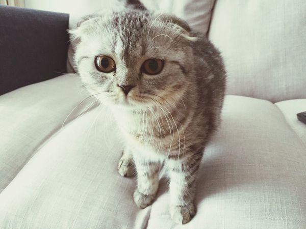 Babycat Scottishfold Scottish Fold Kitten