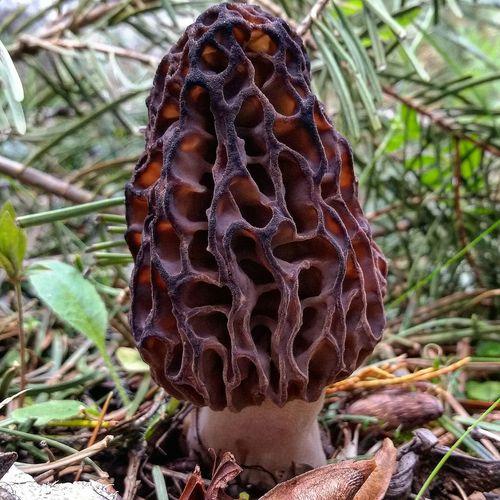 Oregon Nature Life Mushroom Morel
