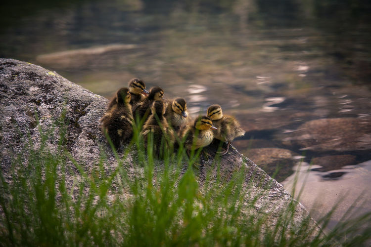 High Angle View Of Ducklings On Shore