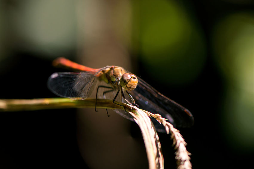 EyeEm Selects Animal Wildlife One Animal Animals In The Wild Insect Animal Themes No People Day Outdoors Nature Close-up Damselfly Darter Dragonflies Dragonfly Summer Pond Life Perching Reed Macro Macro Insects Animal Portrait EyeEm Nature Lover Beauty In Nature Plant
