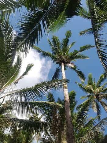Tree Palm Tree Low Angle View Nature Growth Sky No People Day Outdoors Beauty In Nature Treetop
