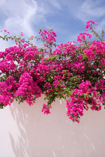 Mediterranean  Beauty In Nature Bougainvillea Bougainvillea Flower Bougainvilleas Close-up Day Flower Fragility Freshness Growth Nature No People Outdoors Pink Pink Color Plant Sky Tree White Washed White Washed Building