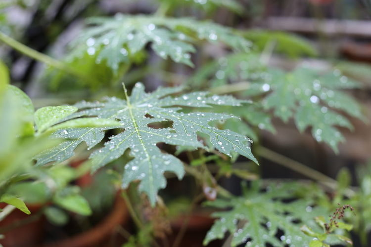Drop Leaf Plant