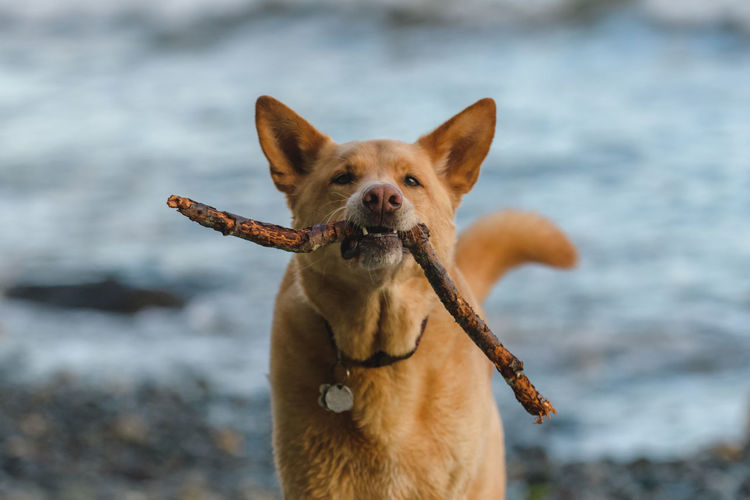 Portrait of dog with stick in mouth