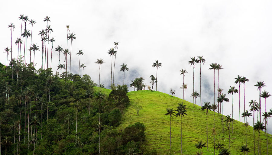 Scenic view of palm trees on hill against sky during foggy weather