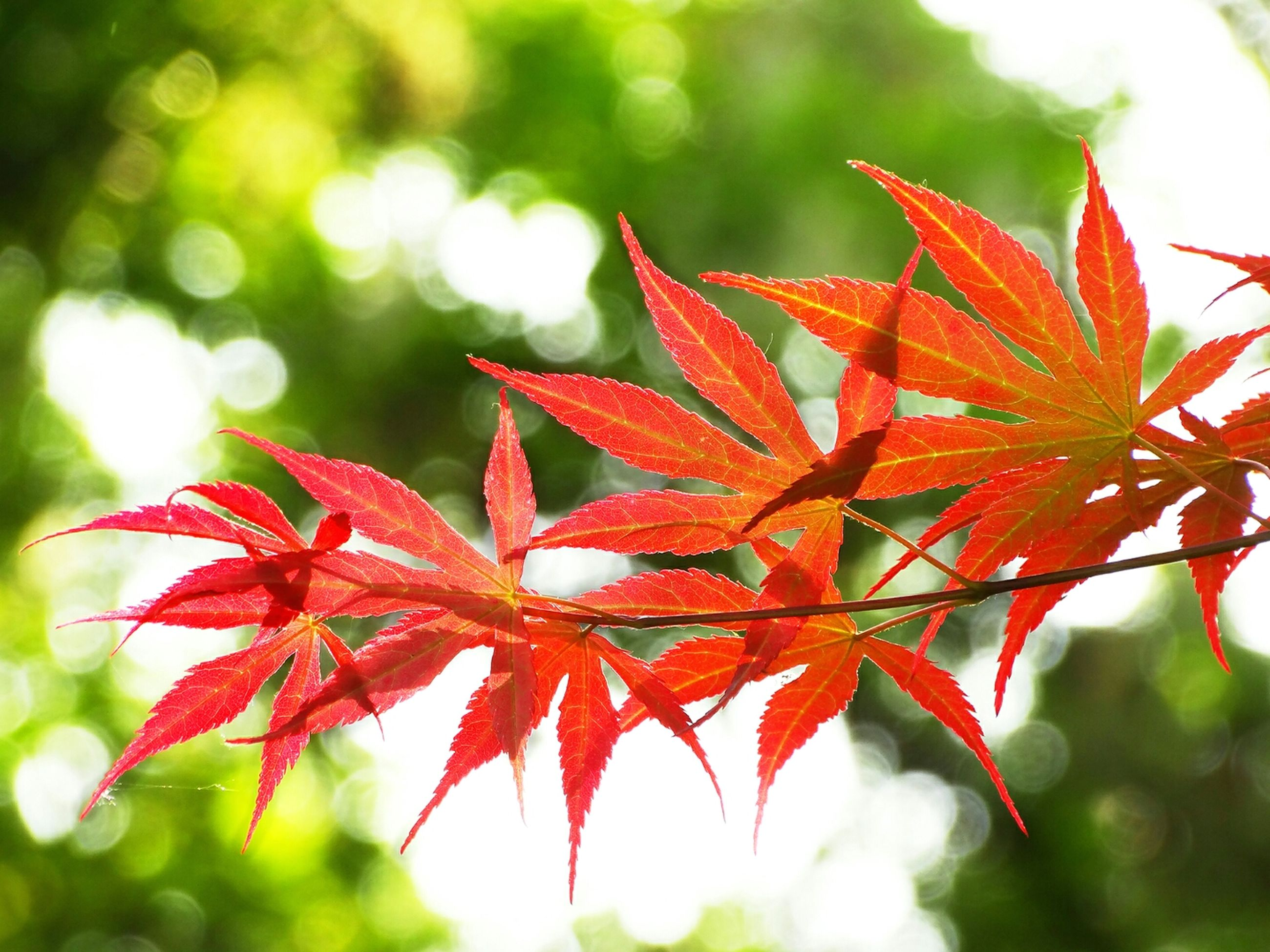 red, leaf, autumn, change, focus on foreground, season, close-up, maple leaf, nature, leaves, growth, leaf vein, orange color, branch, beauty in nature, tree, selective focus, tranquility, day, natural pattern