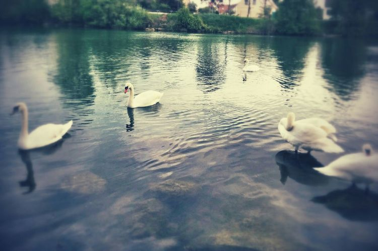 Cygne Birds Of EyeEm  Water Reflections