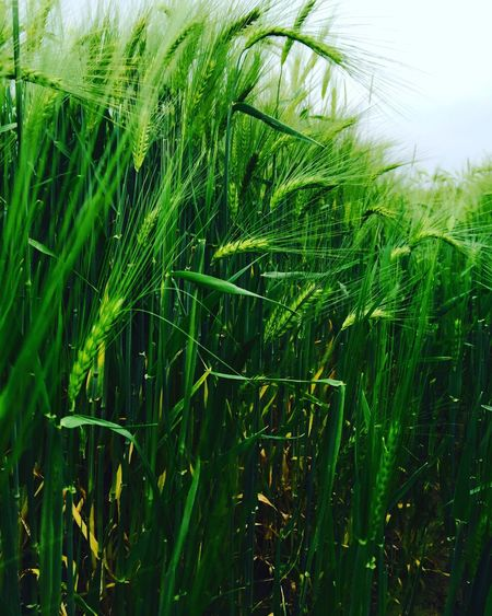 Plant (null)Grass Plants 🌱 Plantes France France 🇫🇷 Happonvilliers Green My_name_is_matt_or_not Green_Matts_Picture Green_Matt_Picture