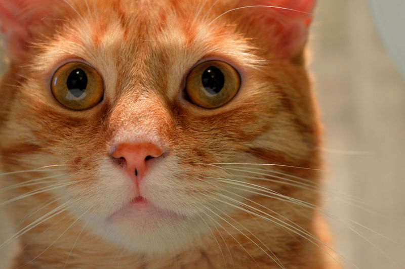 Animal Themes Cat Cat Eyes Cats Close-up Day Domestic Animals Domestic Cat Feline Indoors  Mammal No People One Animal Pets Portrait Red Cat Whisker Red Cats Looking At Camera Close Up Cat Watching Cat Photography Cat Portrait Cats Of EyeEm Cat Lovers