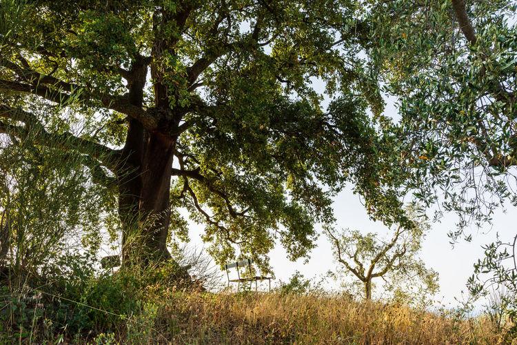 A giant oak