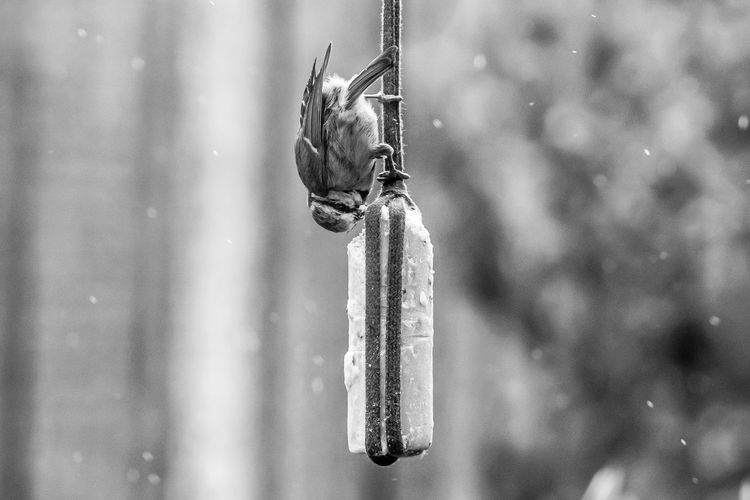 Bluetit bird taking suet from garden feeder during springtime rain downpour