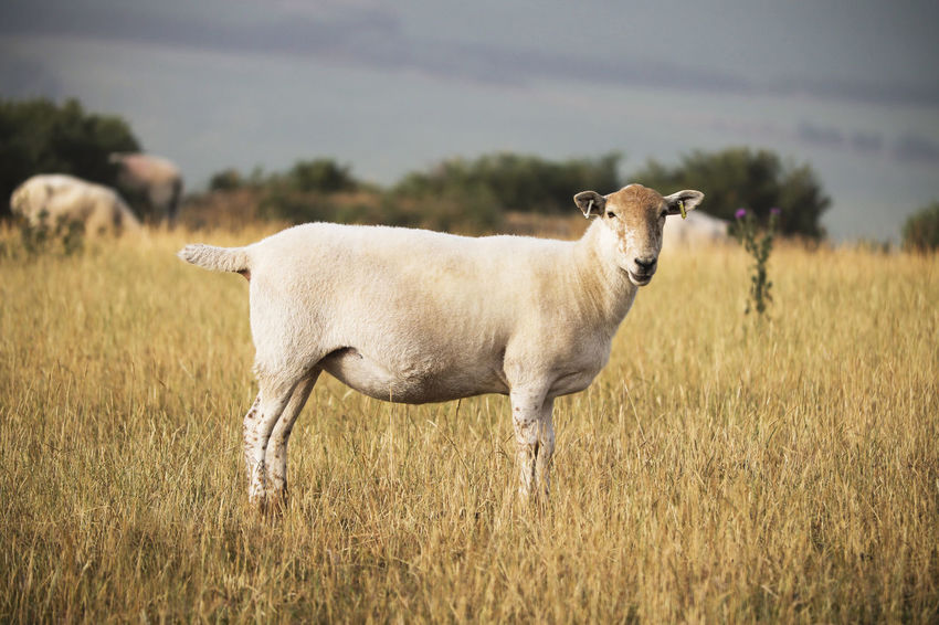 Sheep standing in a field. Farm Farmland Grass Lamb Animal Animal Themes Day Domestic Domestic Animals Environment Field Grass Lambs Land Landscape Livestock Mammal Nature No People One Animal Plant Sheep Standing Vertebrate Wool