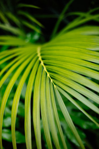 Greeness! Backgrounds Beauty In Nature Close-up Day Fine Art Focus On Foreground Frond Green Color Growth Leaf Leaves Natural Pattern Nature No People Outdoors Palm Leaf Palm Tree Plant Plant Part Rainforest Selective Focus Tree Tropical Climate Capture Tomorrow