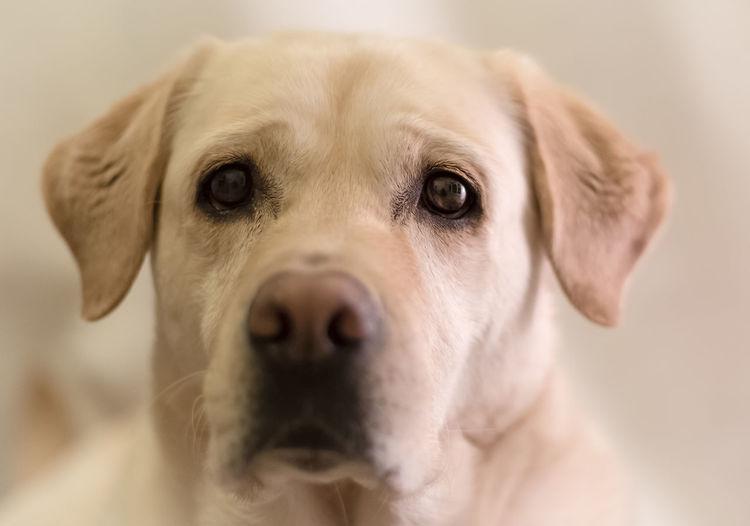 Close-up portrait of labrador