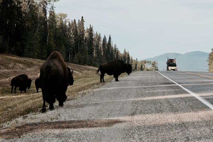American bison on road