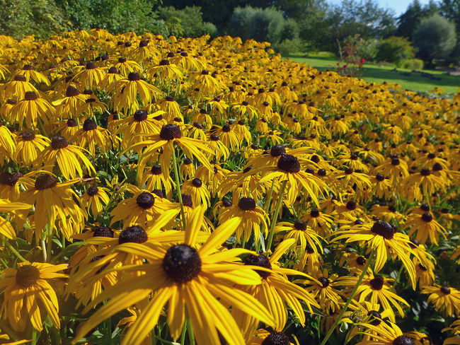 Abundance Background Bad Sassendorf Beauty In Nature Black-eyed Susan Blossom Botany Close-up Field Flower Flower Head Fragility Freshness Growth In Bloom Kurpark  Petal Summer Sunflower Vibrant Color Yellow Yellow Color