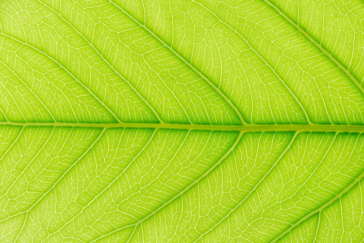 Green Leaf pattern texture background with light behind for website template, spring beauty, environment and ecology concept design. Tropical Leaves Background Leaf Jungle Isolated Palm Nature Plant Foliage Green Summer Plants Texture Design White Pattern Natural Decoration Exotic Bush Floral Abstract Tree Forest Fern Garden Tropic Spring Decorative Monstera Botanical Flora Branch Banana Backdrop Flower Beautiful Dark Beauty Path Arrangement Wallpaper Color Clipping Art Frame Closeup Light Spa Green Color Plant Part Backgrounds Full Frame Close-up Leaf Vein No People Beauty In Nature Macro Textured  Natural Pattern Extreme Close-up Freshness Growth Vibrant Color Outdoors Textured Effect Palm Leaf