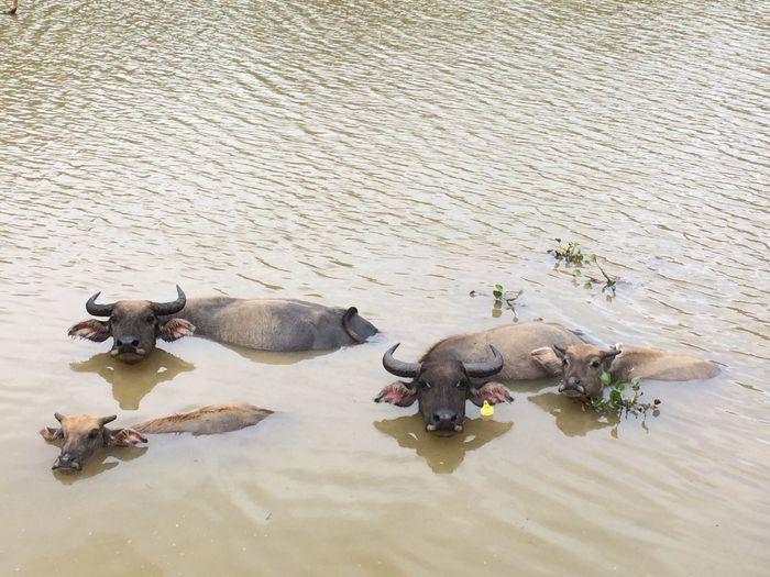Sinking cows Laos Viengxay Buffalos Cows Cute Animals Brown Shitty Life Water ASIA Sinking