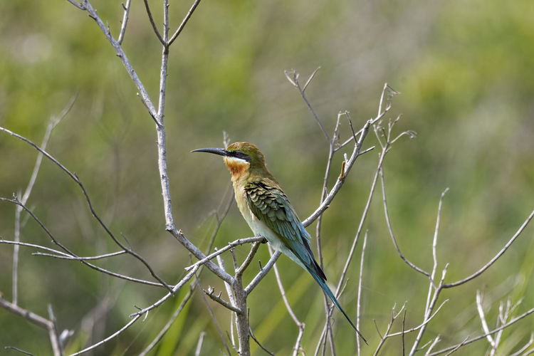 Blue tailed bee-eater Bird Animals In The Wild Animal Wildlife Animal One Animal Animal Themes Perching Plant Branch Focus On Foreground No People Day Tree Nature Outdoors Kingfisher Bare Tree Beak Beauty In Nature