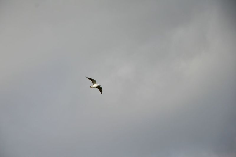 Guls and Terns Free Freedom Soar Soaring Birds Animal Themes Animal Wildlife Animals In The Wild Bird Day Flapping Flying Flying Bird Gull Gulls In Flight Mid-air Nature Outdoors Sea Sea Bird Sea Life Seabirds Seagull Sky Spread Wings White