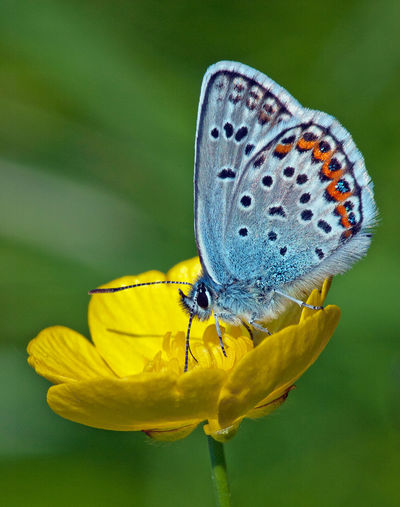 Blue winged butterfly Animal Themes Animal Wildlife Animal Wing Beauty In Nature Blåvinge Buttercup Butterfly Close-up Dots Flower Flowers Focus On Foreground Fragility Insect Macro Photography Natural Pattern Nature Pollination Selective Focus Wildlife Yellow Macro Fine Art Photography Showcase July
