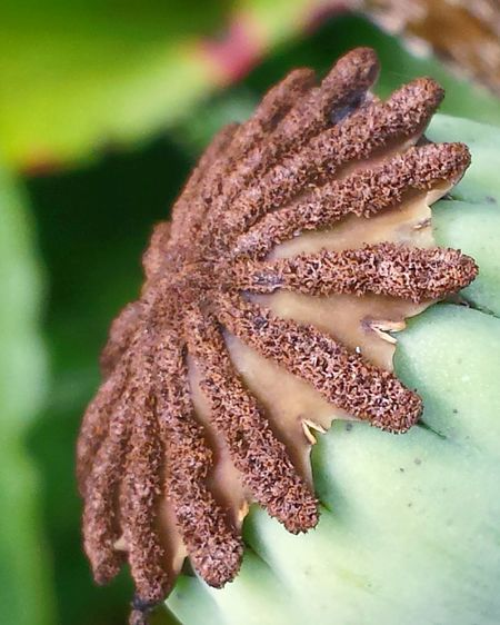 Macro Macro Beauty Macro Nature Check This Out Garden Life Flowers, Nature And Beauty Ladyphotographerofthemonth Flowers,Plants & Garden Nature On Your Doorstep Nature Power Of Nature Green Background Makros Green And Brown In The Garden Poppy Seed Head Poppy Capsules