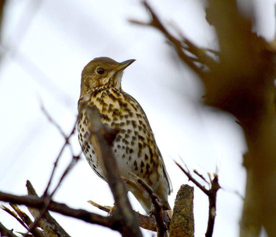 Song Thrush, turdus philomelos Song Thrush Animal Themes Animal Wildlife Animals In The Wild Beauty In Nature Bird Branch Close-up Day Focus On Foreground Nature No People One Animal Outdoors Perching Thrush Tree Turdus Philomelos