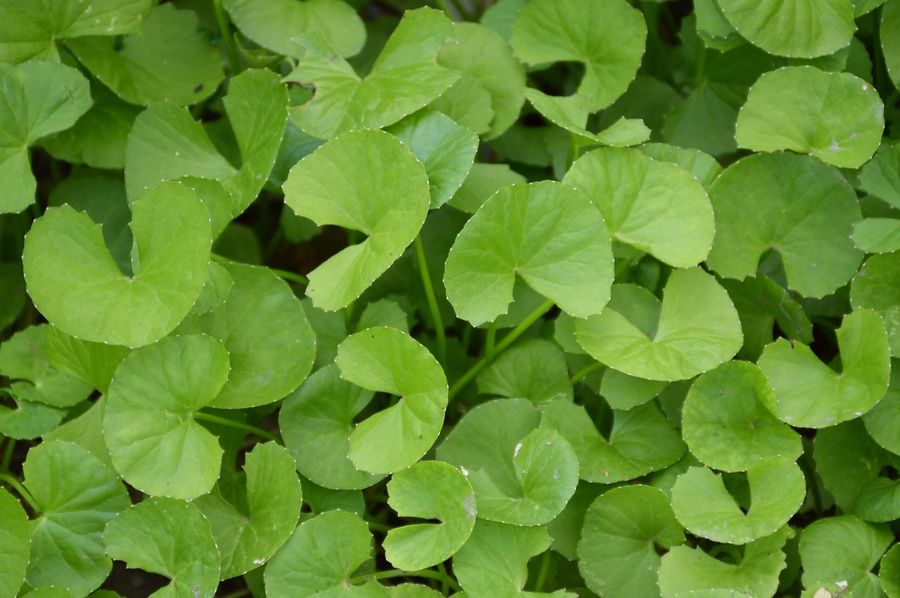 Agriculture Asiatic Pennywort Herb Backgrounds Centella Asiatica Close-up Day Evergreen Fragility Freshness Full Frame Gotu Kola Green Color Growth Healthy Herbal Houseplant Large Group Of Objects Leaf Nature No People Outdoors Plant Vegetable