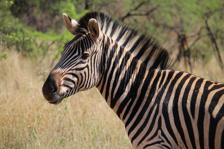 Animal Markings Animal Themes Animals In The Wild Field No Dots One Animal Perfection Striped