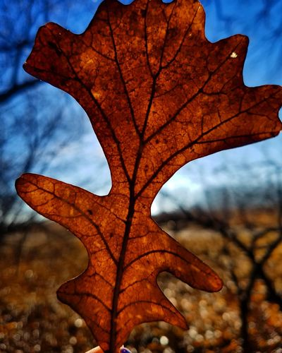 How beautifully leaves grow old. How full of light and color are their last days.- John Burroughs Leaves Nature Solitude Naturephotography Country Minnesota Oakleaf Beautyineverything Winter Close-up Focus On Foreground Rural Scene Optoutside February Naturelovers Earth_Collections Sunlight Hello Friends