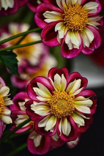 Dahlia Dahlias Flowering Plant Flower Beauty In Nature Flower Head Fragility Petal Vulnerability  Multi Colored Yellow Daisy Nature Pollen Growth No People Pink Color Focus On Foreground Freshness Close-up Inflorescence Plant