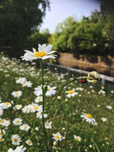Canal Path Canal Daisy Ladybird Flowering Plant Flower Plant Fragility Vulnerability  Growth Beauty In Nature Focus On Foreground Freshness Invertebrate Insect Animal Themes Animals In The Wild Flower Head Nature Petal Animal One Animal Animal Wildlife No People