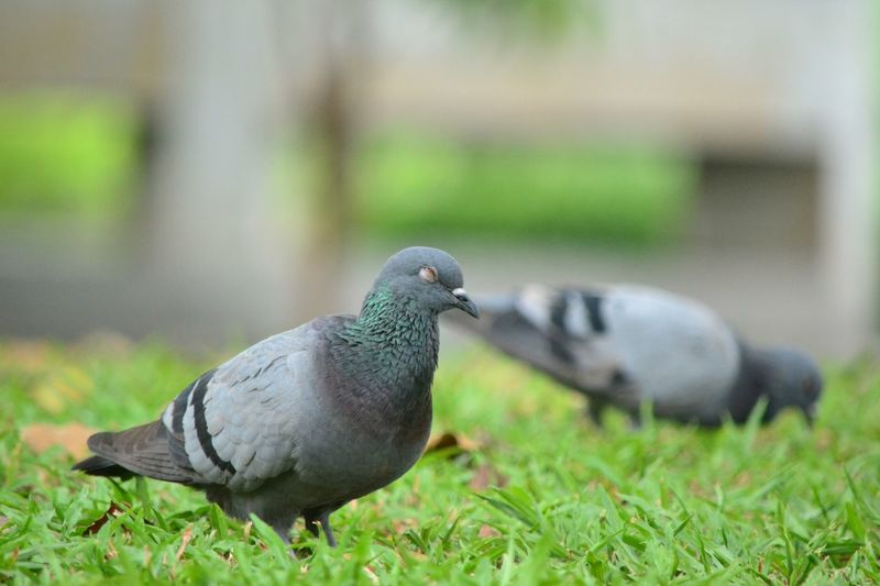 Close-up of pigeon on field