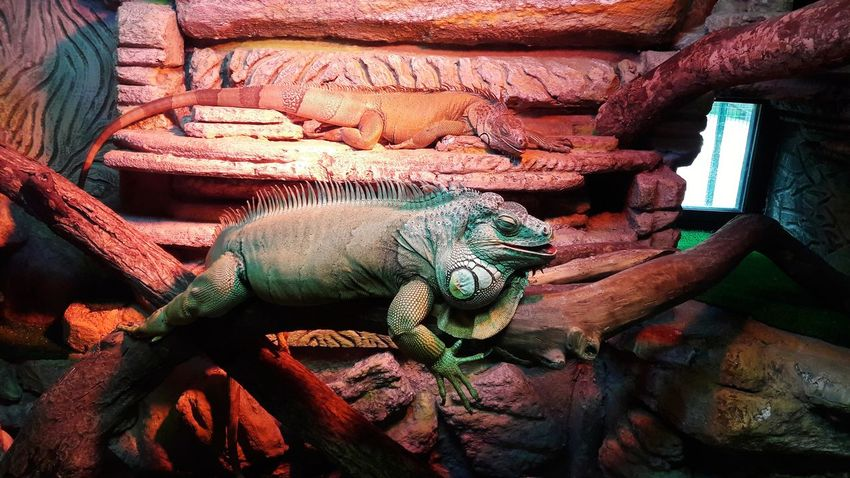 🦎 Iguana Zoo Animals Nature Day Russia Nophotoshop Nofilter Noedit Nature Galaxya5📱 Photography Samsungphotography Animal Themes Reptile No People Photobyme 📷