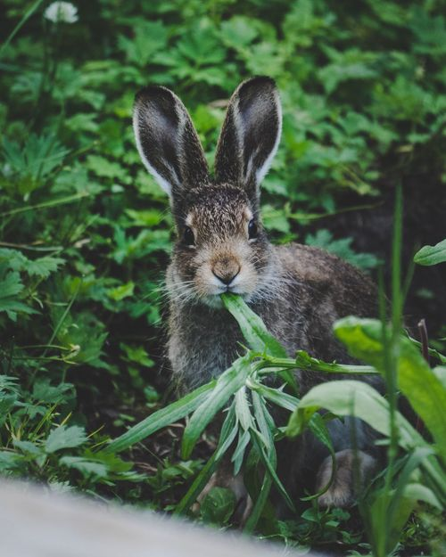Animal Themes One Animal Plant Animals In The Wild Mammal Day No People Animal Wildlife Green Color Looking At Camera Leaf Nature Portrait Close-up Outdoors Grass Hare Jack Rabbit Rabbit The Week On EyeEm