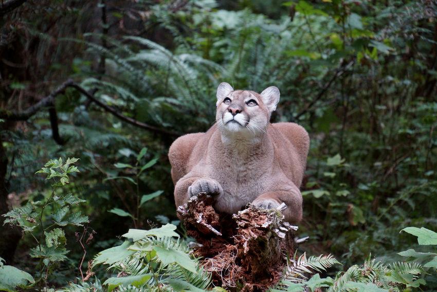 Mountain Lion Tadaa Community No People Nature Mammal Forest Beauty In Nature Wildlife Animal Photography Animal Head  Animal Animal Themes Mountain lion Northwest Trek
