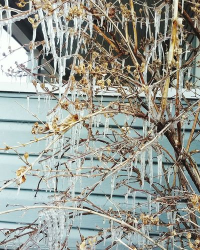 Icecicles Branches Thelastdayofwinter Check This Out Sterlingcolorado Cold Day