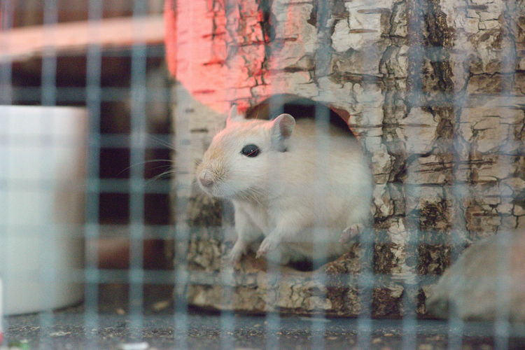 Gerbil Puppy Gerbils Domestic Domestic Animals Mammal No People Pets Rodent