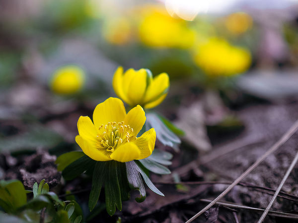 Eranthis - sign that spring is coming, I love it. Eranthis Flower Flowers Flowers,Plants & Garden Flowers, Nature And Beauty Sign Of Spring Spring Spring Flowers Spring Is Coming  Copenhagen Copenhagen Denmark Denmark København København Danmark Danmark Flower Yellow Fragility Plant Petal Nature Flower Head Beauty In Nature Outdoors Focus On Foreground Close-up Day Beauty Growth Plant Part No People The Great Outdoors - 2018 EyeEm Awards