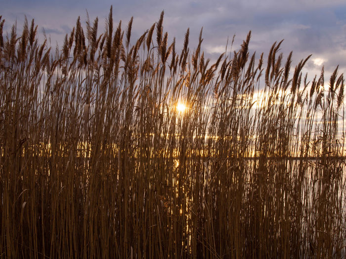 Plant Sky Growth Nature Beauty In Nature Tranquility No People Land Cloud - Sky Field Grass Sunlight Sunset Water Tranquil Scene Outdoors Day Landscape Sun Crop  Timothy Grass Stalk