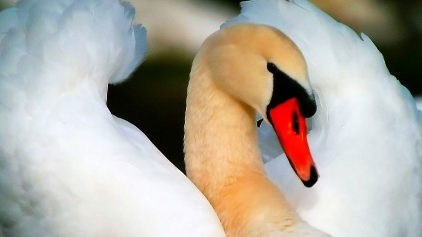 Cygne Bird Animal Themes Swan Adult Swans Swans ❤ Swan Lake Swans On The Lake Swans Of Eyeem Swansea Taking Photos First Eyeem Photo Portrait Animal Body Part One Animal Nature_perfection Beauty In Nature Animals In The Wild Birdphotography Birds Of EyeEm  Naturelovers